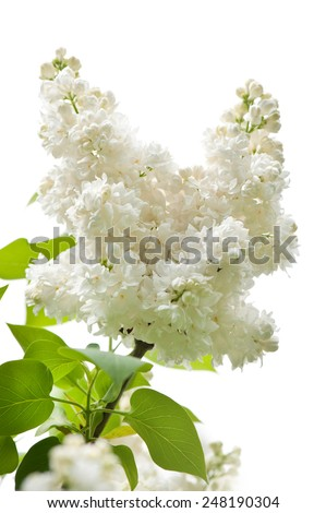 Lilac white isolated flowers twig bloom bright inflorescence grow in garden, ornamental shrub zoom vibrant flowering Syringa vulgaris in spring season, beautiful flowers nature detail, vertical nobody - stock photo
