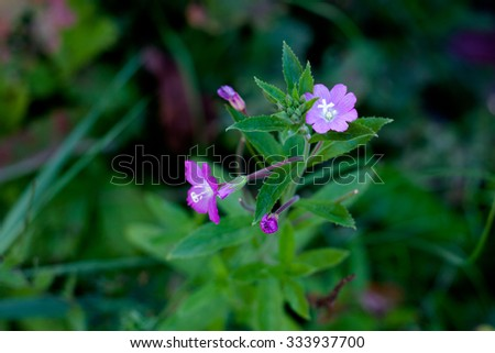 Lilac wildflowers in green field