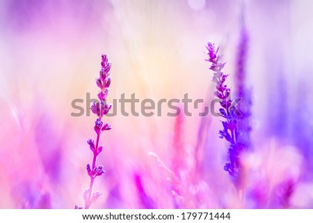 lilac wildflowers in the meadow,colored - stock photo