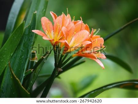 Lilies - stock photo