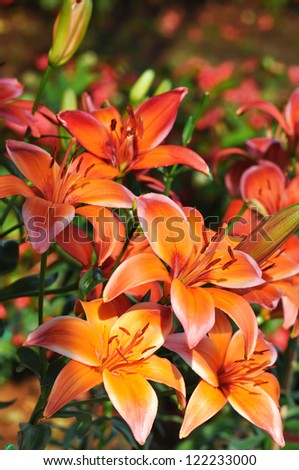 Lilium hybrids, Lily,  Easter Lily - stock photo