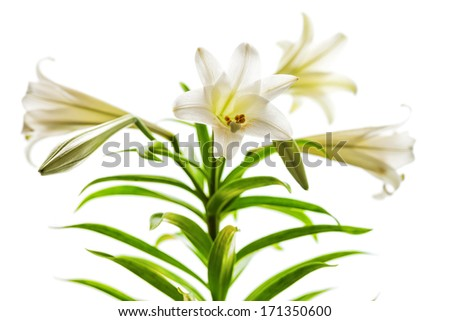 Lilium longiflorum blossoms also called Easter or November Lily presented in high key against a white background.   - stock photo