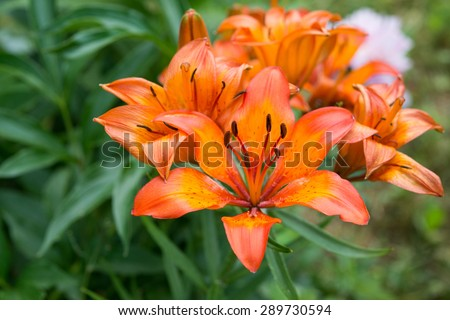Lillies in garden  - stock photo