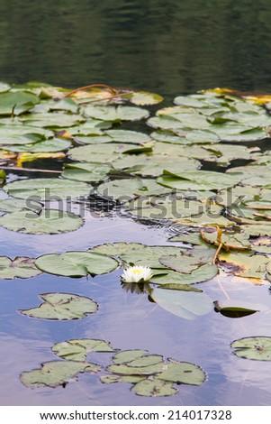 Lilly flowers on a water, Laguna Verde lake, Ruda de las Flores , El Salvador - stock photo