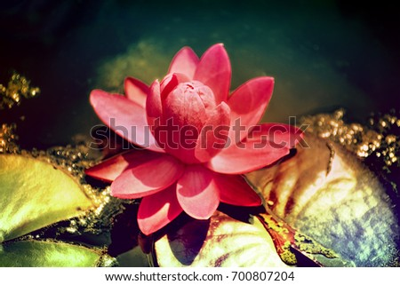 lily and lily pads in pond