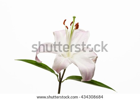 Lily. Beautiful flower open petal. Bright white bloom blossom focus stack. Blooming flower on isolated white background - stock photo