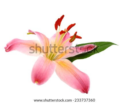 Lily blooming isolated white - stock photo