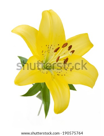 Lily closeup isolated on white background - stock photo