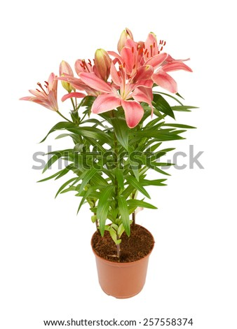 Lily flower in a pot isolated on white background - stock photo