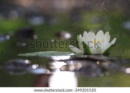 lily flower lily lake cleanliness - stock photo
