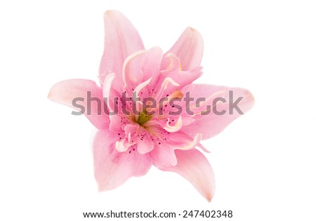 lily flower on a white background