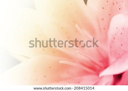 Lily flower, sweet pink of lily flower in soft focus. - stock photo