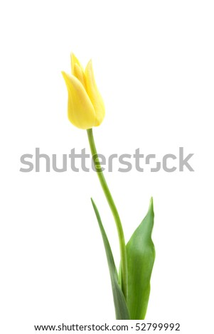 Lily flowered tulip West Point isolated on white