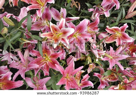 Lily flowers - stock photo