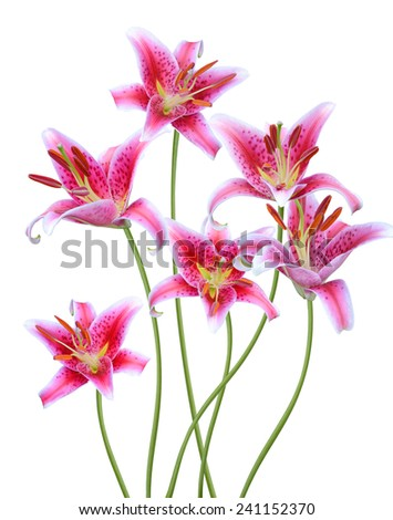 Lily flowers a white background  - stock photo