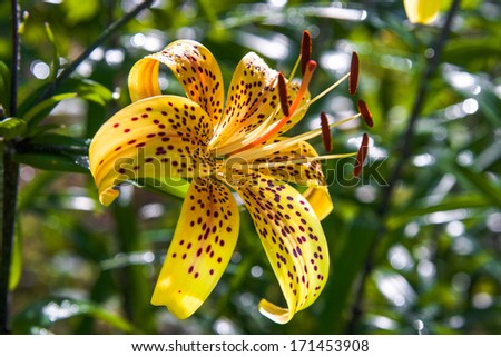 lily holostea - stock photo