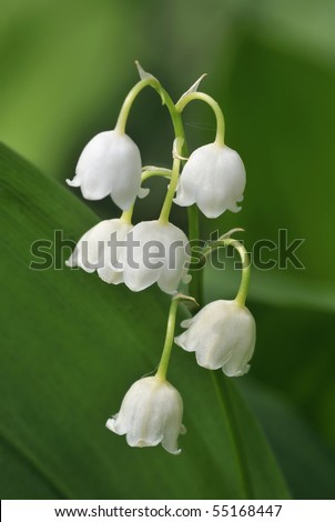 Lily-of-the-valley - Convallaria majalis