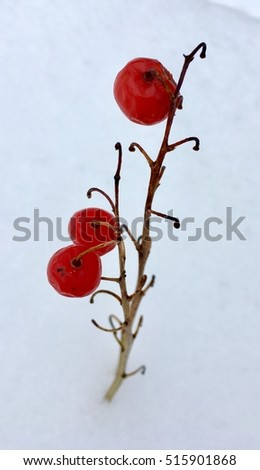 Lily of the valley in winter season. Red berries on dry branches in fresh snow, close-up photo