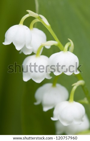 Lily of the valley, macro shot