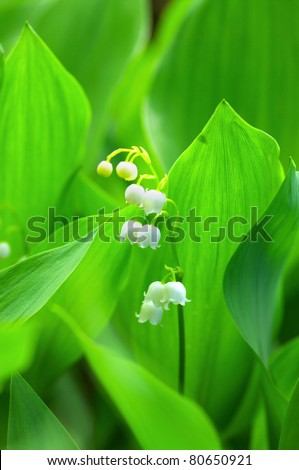 Lily-of-the-valley over natural background. Green forest with flower of lily-of-the-valley. - stock photo