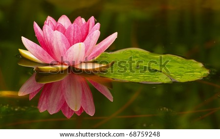 Lily on pond - stock photo