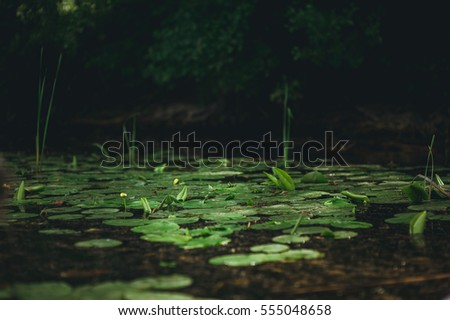 lily on the water. River landscape