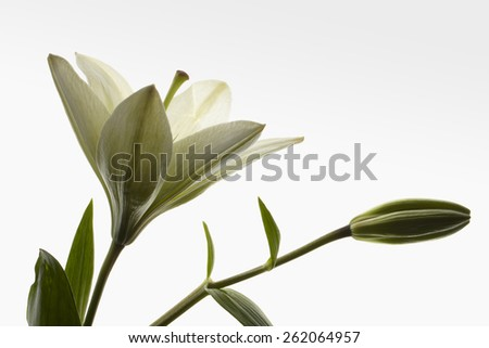 Lily open with a bud on white gradient background.