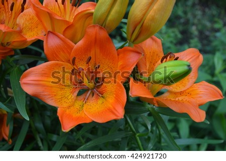 Lily orange, inflorescence. Kitchen garden. Lilium. Lilium bulbiferum - stock photo