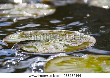 Lily pad with water droplets in pond - stock photo