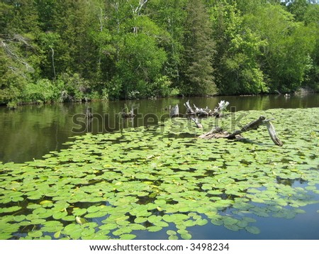 Lily pads in calm river