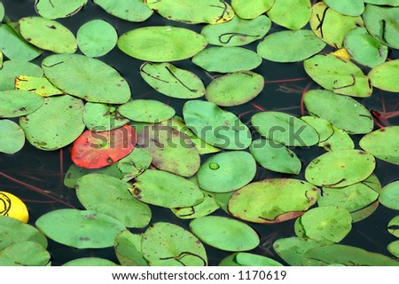 Lily pads on the surface of a pond. - stock photo