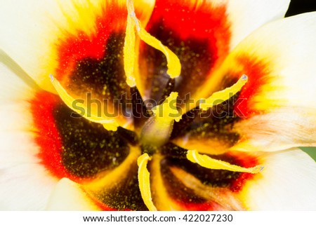 Lily stamen close up pollen on a flower - stock photo