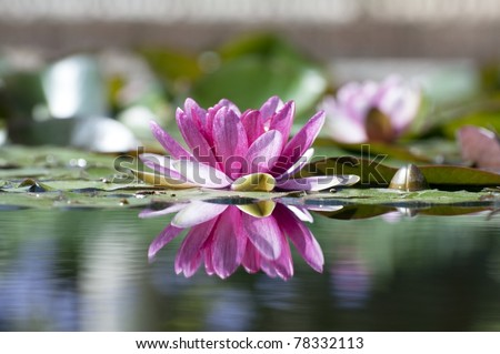 Lily water - stock photo