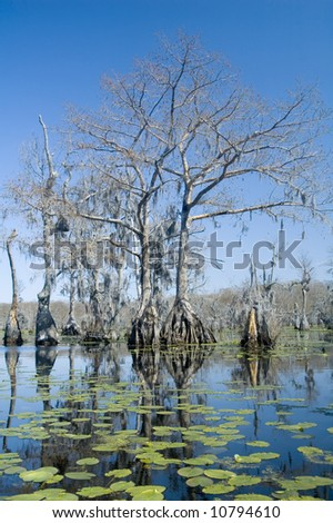 Lilypads and cypress trees in swamp - stock photo
