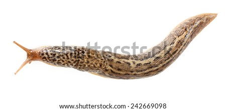 Limax maximus - great grey or leopard slug