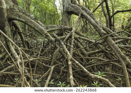 Limbs and roots of mangrove trees in Reserva Biological Nosara look like the trees are marching in Nosara, Costa Rica - stock photo