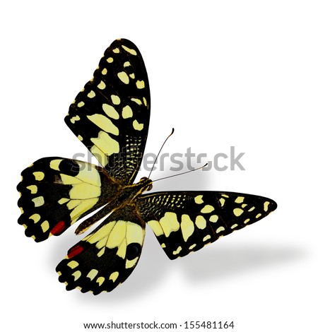 Lime Butterfly flying with soft shadow beneath - stock photo