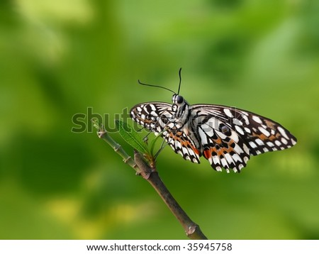 Lime Butterfly (Papilio demoleus) on a green tree branch, copy space - stock photo