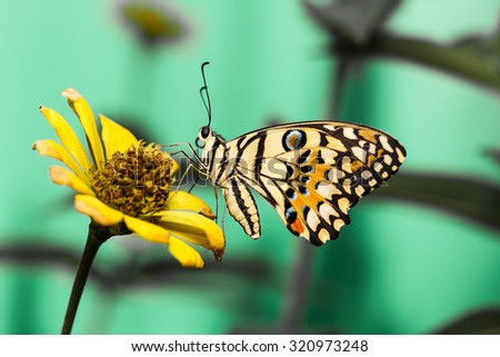 Lime butterfly resting on yellow flower - stock photo