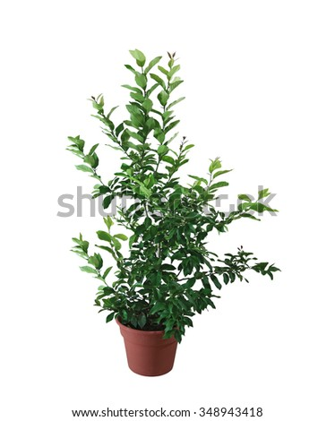 Lime citrus plant in the pot isolated on white background - stock photo