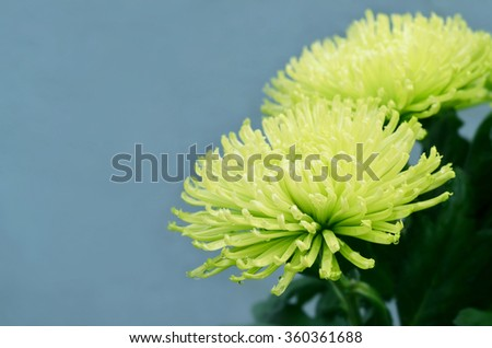 Lime green chrysanthemums; isolated - stock photo