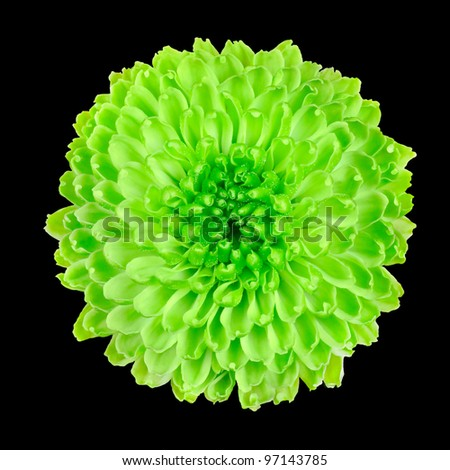 Lime Green Pom Pom Chrysanthemum Flower Isolated on Black Background - stock photo