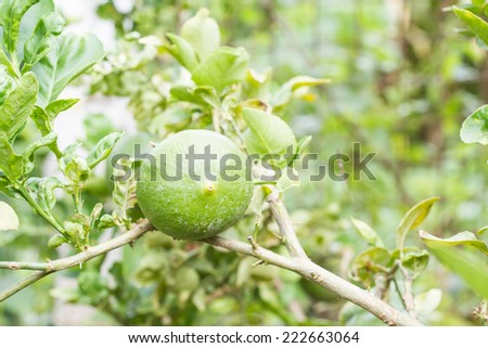 lime tree. - stock photo