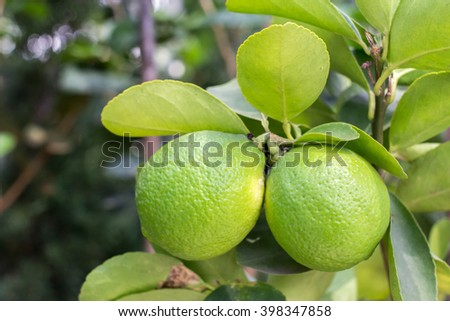 Lime tree and fresh green limes on the branch in the lime garden - stock photo