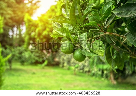Lime tree with fruits closeup - stock photo