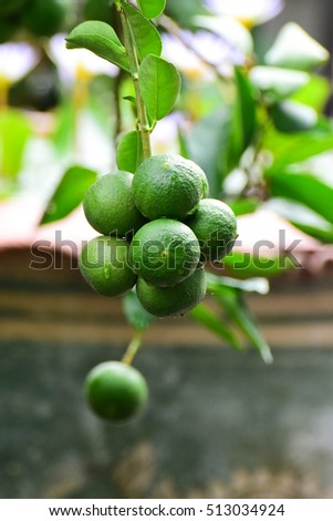 Lime tree with fruits closeup.