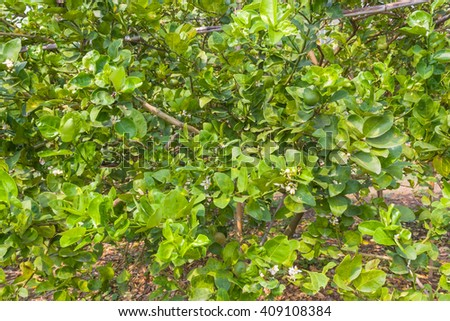 limes on tree in plantation