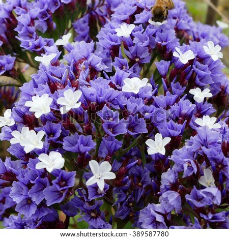 Limonium sp.,endemic flower Canary island - stock photo