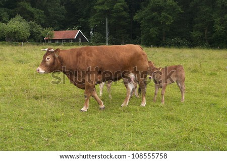 limousin cow with her two young calves - stock photo