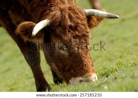 limousin cowf in a meadow